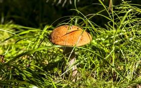 Обои трава, природа, гриб, подосиновик