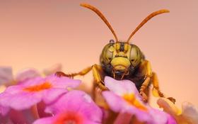 Картинка розовый, цветок, оса, насекомое, макро