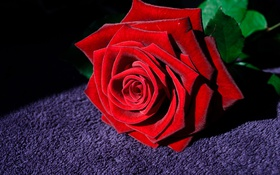 Картинка роза, цветок, макро