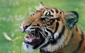 Обои тигр, животное, хищник, пасть