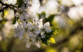 Картинка макро, закат, цветы, вишня, весна, вечер, цветет