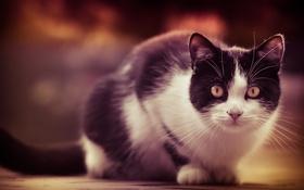 Обои кошка, глаза, кот, взгляд