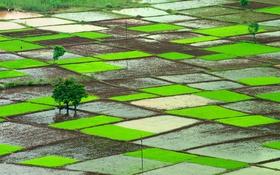 Обои Индия, рисовые поля, Ратнагири, Махараштра