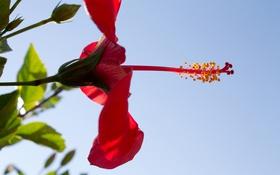Обои цветок, небо, гибискус