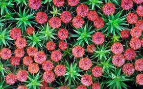 Обои цветы, растение, Нидерланды, Неймеген, щетинистый кукушкин мох