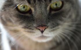 Обои глаза, взгляд, кошак, котяра