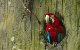 Обои дерево, птица, попугай, дупло