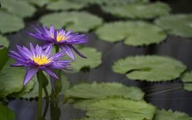 Обои листья, вода, цветение, водяные лилии, водоем