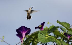 Картинка небо, цветы, птица, колибри, вьюнки, ипомея
