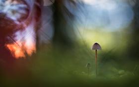 Обои осень, природа, гриб
