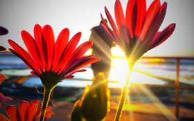 Картинка солнце, лучи, свет, природа, краски, лепестки, стебель
