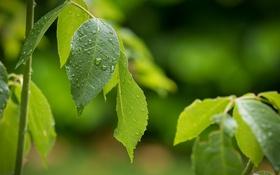 Обои листья, зелень, природа
