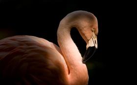 Обои птица, профиль, фламинго