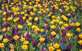 Обои яркие, тюльпаны, гиацинты