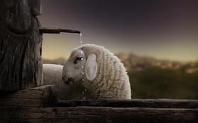 Обои капли, Овца, вода, корыто