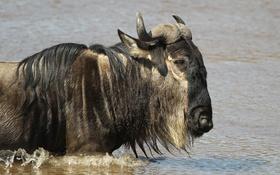 Обои морда, профиль, водоём, антилопа, гну