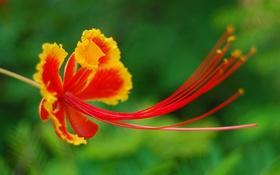 Обои цветок, экзотика, лепестки, тычинки