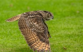 Обои трава, полет, птица, крылья, клюв, охота