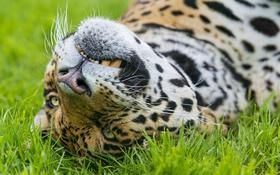 Картинка кошка, трава, морда, ягуар, ©Tambako The Jaguar