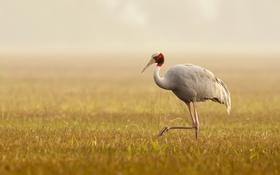 Картинка туман, птица, Sarus Crane