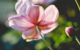 Обои цветок, лепестки, розовые