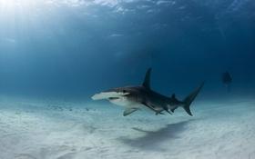 Обои Bimini, Great Hammerhead Shark, Bahamas