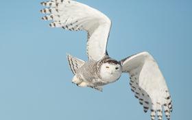 Обои небо, взгляд, сова, крылья, летит