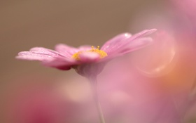 Обои розовый, цветок, макро, боке