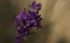 Обои цветок, макро, сиреневый, лаванда