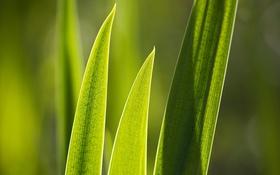 Обои зелень, листок, растения