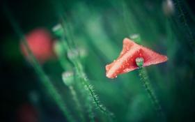 Обои красный, лепесток, мак, цветок
