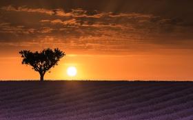 Картинка закат, дерево, лаванды