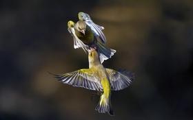 Обои полет, птицы, природа, крылья, окрас, деруться