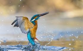 Обои вода, зимородок, птица, брызги