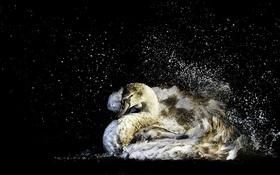 Картинка вода, природа, птица, лебедь