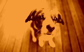 Обои Фото, Собака, Сепия, Сидит