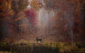 Обои осень, лес, листья, деревья, озеро, листва, олень