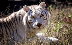 Обои белый тигр, взгляд, кошка