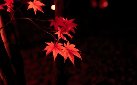 Обои клен, макро, листья, осень