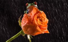 Обои цветок, любовь, дождь, роза, лягушка, лапки, love