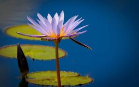 Обои листья, лилия, лепестки, водоем