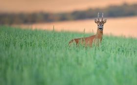 Обои трава, природа, олень
