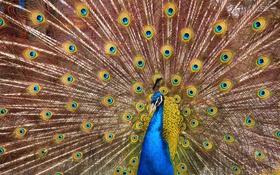 Обои птицы, природа, перья, хвост, павлин