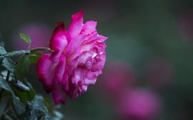 Обои боке, роза, роса, макро, цветок