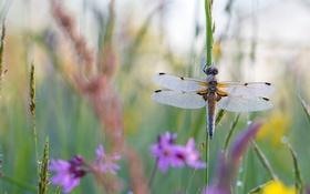 Картинка лето, трава, макро, цветы, крылья, стрекоза, насекомое