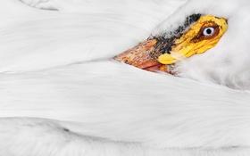 Картинка макро, птица, American White Pelican