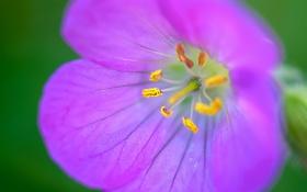 Обои природа, цветок, лепестки, тычинки