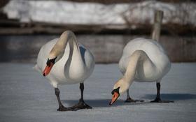 Картинка снег, птицы, пара, лебеди