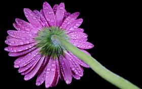 Обои капли, цветок, flower gerbera, drops, гербера