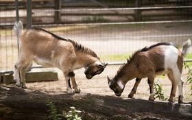 Картинка игра, малыши, парочка, зоопарк, козлята, детёныши